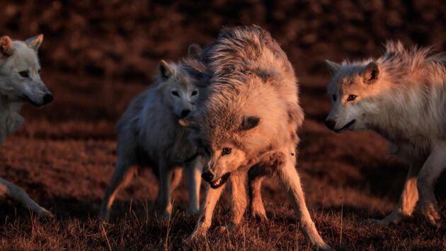 Le royaume du loup blanc