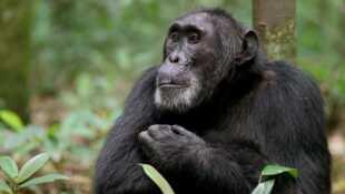 Ngogo La guerre des singes