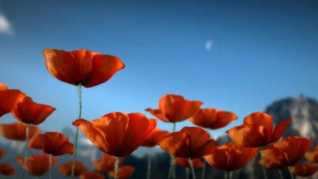 Where the Poppies Blow