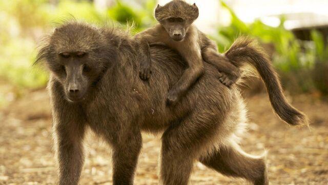 Les babouins du Cap