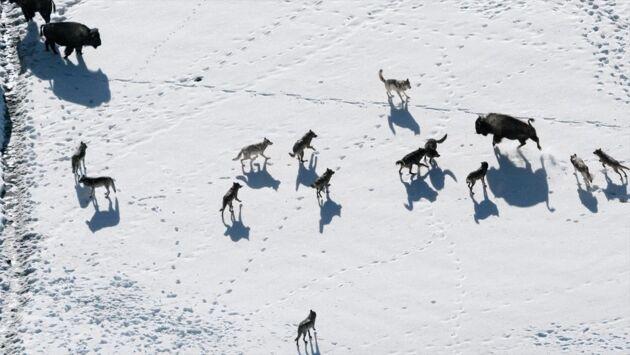 Yellowstone, la dynastie des loups