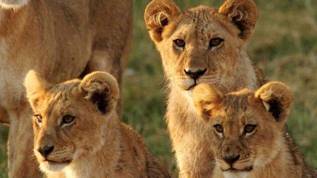Lions contre éléphants, le choc des titans