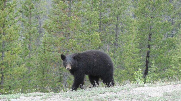 A l'école des ours noirs