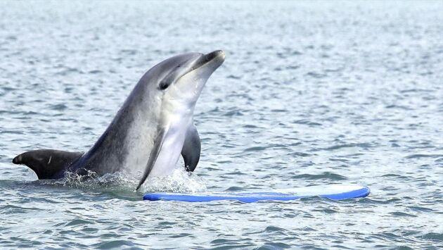 Un dauphin parmi les hommes