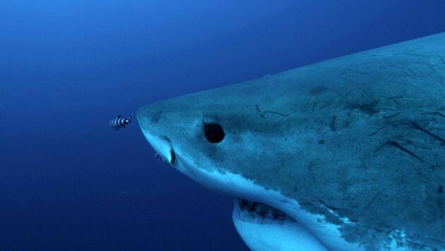 Les requins d'Amérique