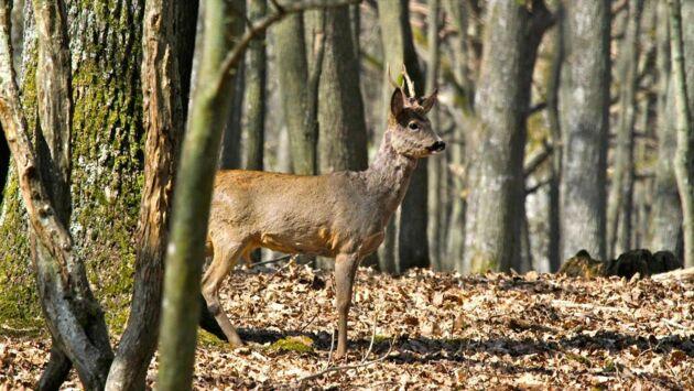 Grésigne, forêt de grande chasse