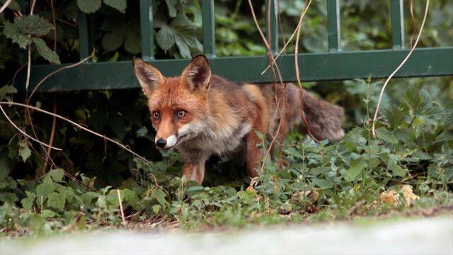 Les renards de Berlin