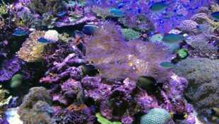 Peut-on sauver le corail ?