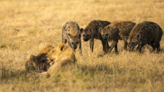 Lions et hyènes, ennemis jurés