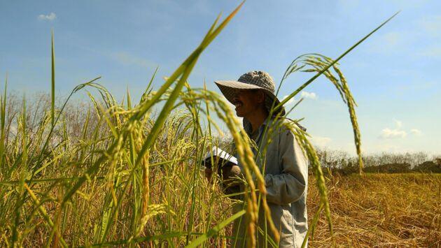 Les maîtres du riz