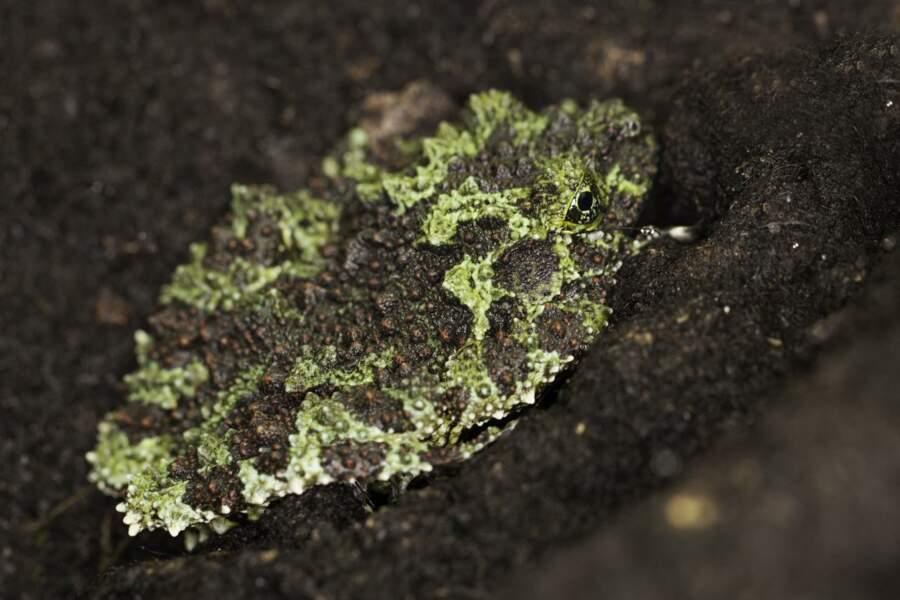 Et voici sa coloc à Thoiry, la grenouille mousse, mais dans la nature, elle vit uniquement dans le nord Vietnam !