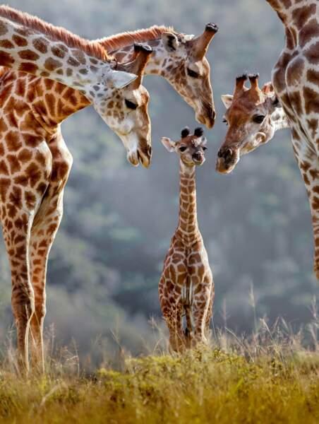 Le girafon est bien entouré. Toute la famille girafe le surveille !