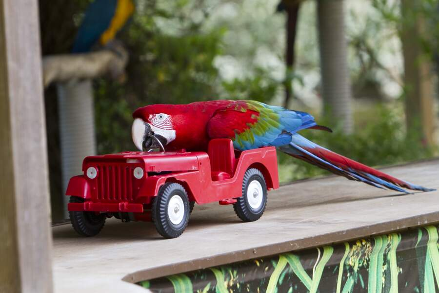 Tout comme cet Ara militaire, extrêmement joueur, qui participe à un spectacle de perroquet ! (Zoo de la Flèche)