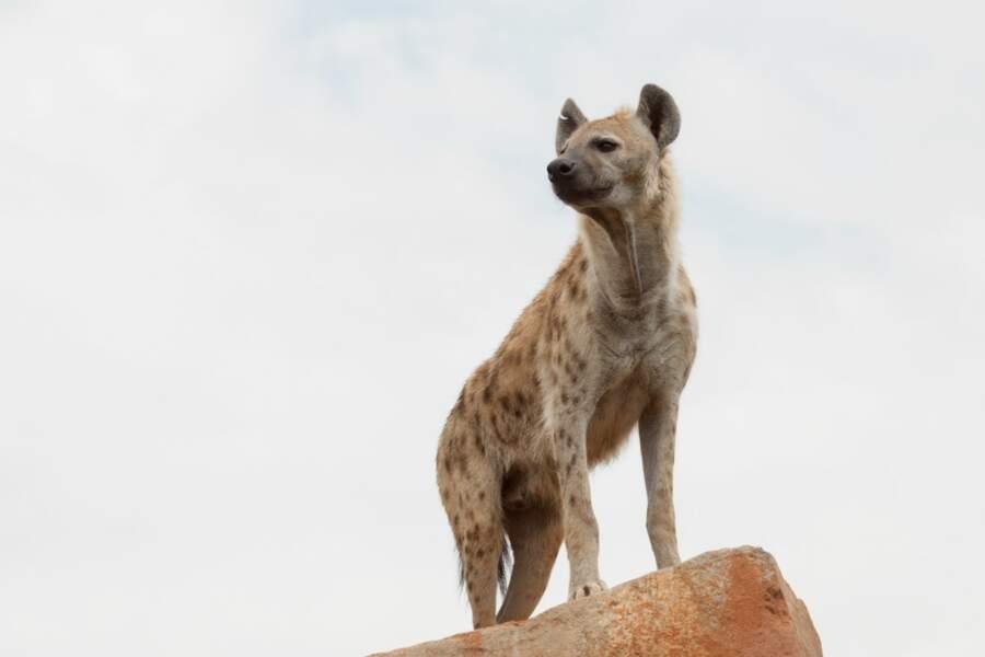 Les hyènes forment des meutes habituellement. Mais celle-ci n'est pas prête de chasser en bande...