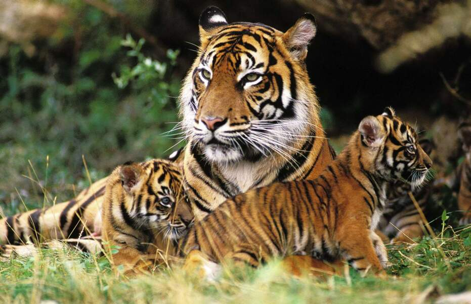 ... Et une séance de jeu chez les tigres ! Attention ce ne sont pas des gros chats...