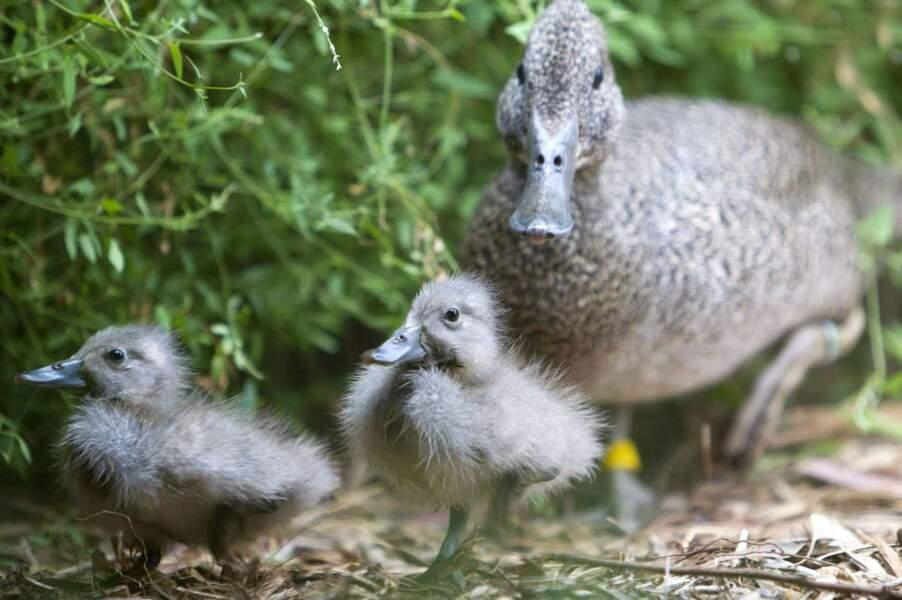 Maman canard ne lâche pas d'une patte ses petits. Ils ne sont pas près d'être indépendants.