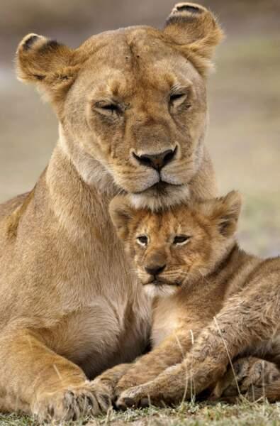 Maman lionne veille au grain pour que son lionceau soit toujours propre !