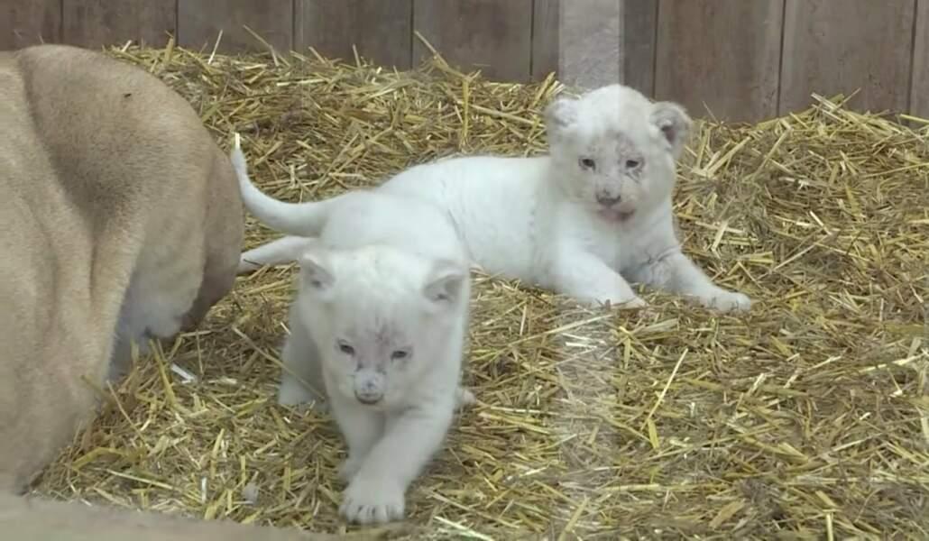Le zoo d'Amneville a aussi eu droit à son baby boom, avec des lionceaux blancs