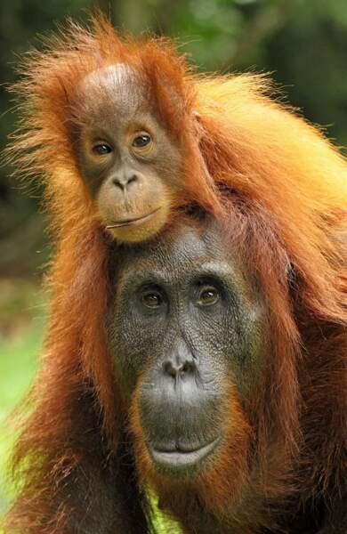 Et le réveil difficile d'un orang-outan sur la tête de sa maman