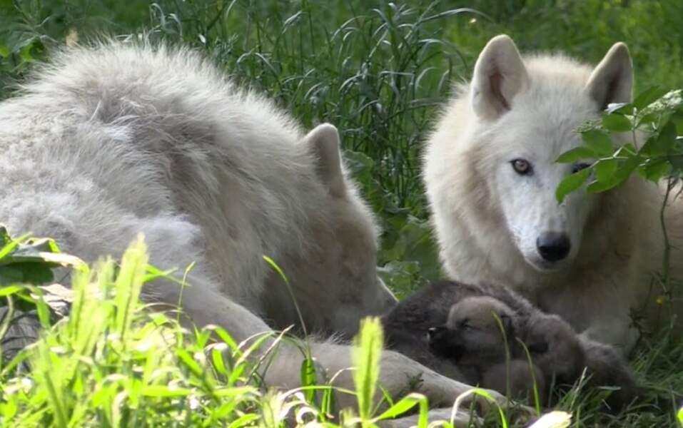 Ou encore quatre petits loups de l'Arctique