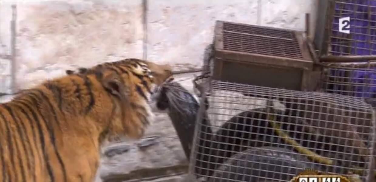 Mais ça, c'était sans compter sur un tigre qui avait visiblement un petit creux