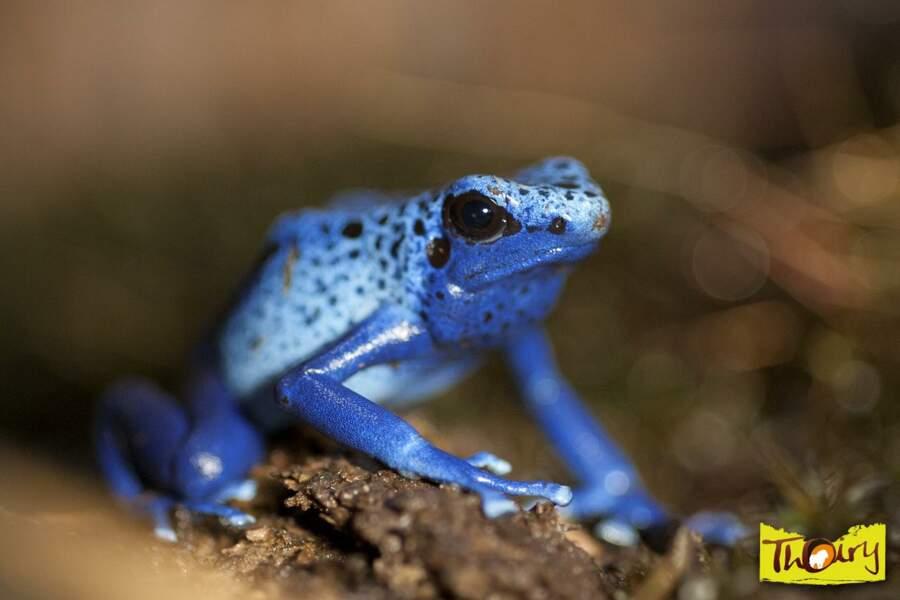 Une grenouille? Non, un dendrobate teint voyons ! Cet animal d'Amérique du sud a la peau très toxique. (Thoiry, 78)