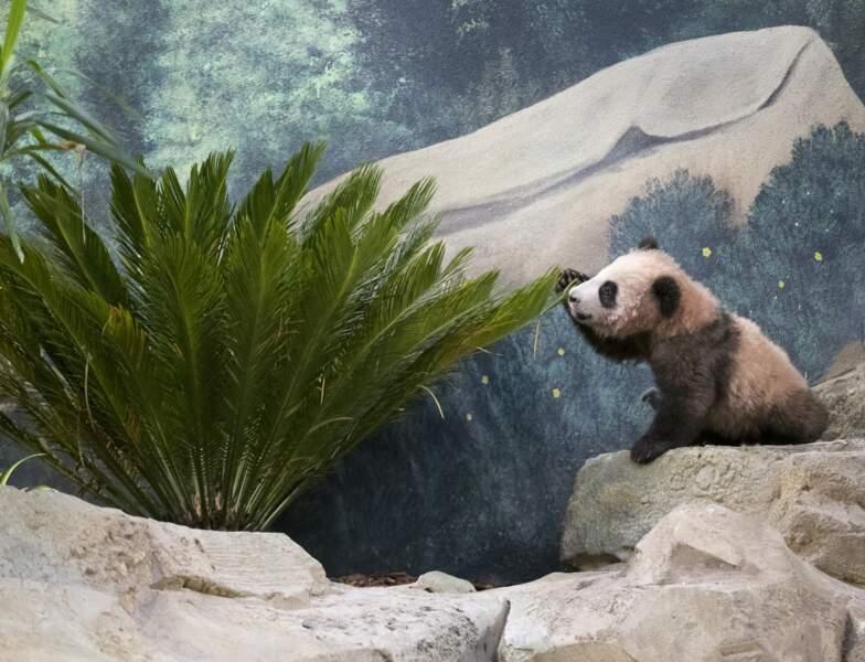 Les parents de Yuan Meng ont été prêtés au Zoo de Beauval par la Chine, pour une durée de dix ans.