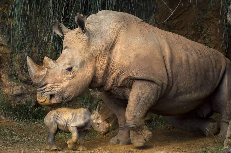Non ce n'est pas une miniature. Voici un bébé rhinocéros et sa maman. Attention, bêtes féroces !