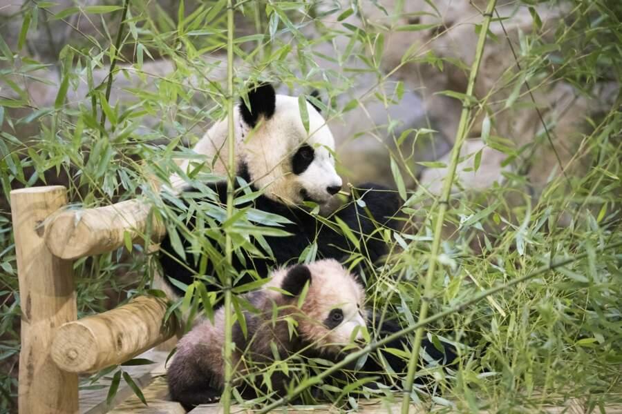 Un peu plus loin, le paternel, Yuan Zi, se régalait de bambous.