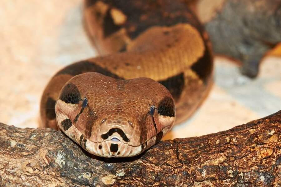 Il peut faire jusque 4 mètres et 30 kg, ce boa constrictor vit au Zoo de la Palmyre (Les Mathes, 17)