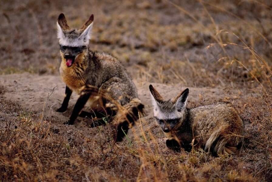 Ces otocyons sont aussi appelés renard à tête de chauve-souris à cause de leurs très grandes oreilles (Arcachon)