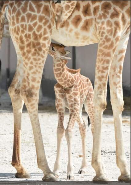 Malaï, le petit girafon, a lui surpris tout le monde avec sa venue au monde en novembre au zoo de La Flèche