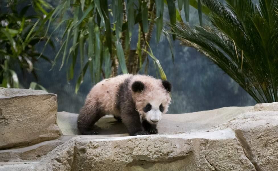 Rendez-vous au Zoo de Beauval pour admirer en vrai cette adorable petit panda !