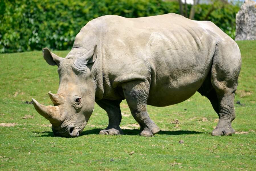Pendant la préhistoire, des millions de rhinocéros peuplaient l'Afrique et l'Asie. Ils sont aujourd'hui en danger.