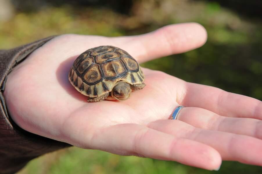 Les bébés tortues sillonnées pèsent entre 300 grammes et 1 kilo. Adultes, elles feront entre 60 et 100 kilos.