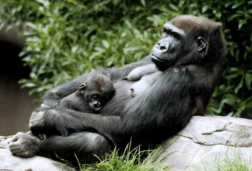 Continuons avec les singes. Voici la sieste chez les gorilles !