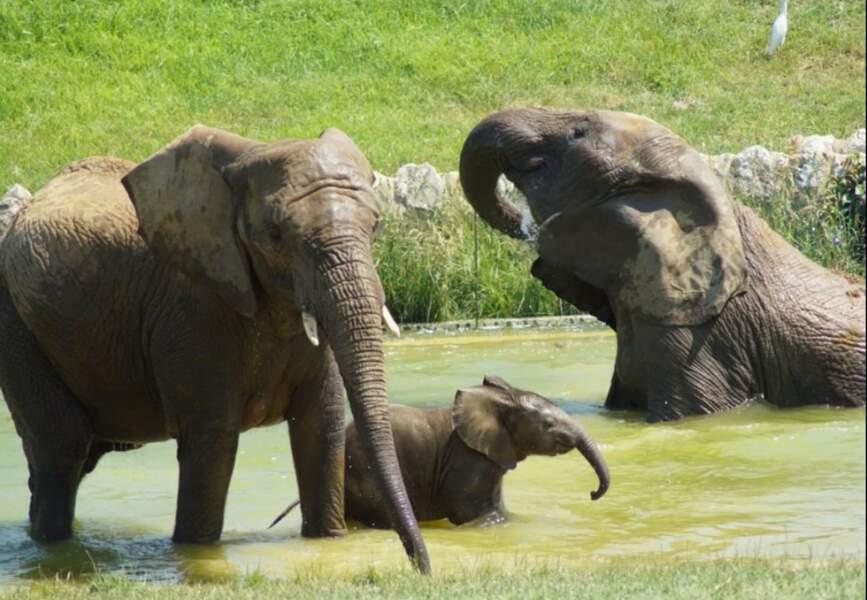 Enfin, le zoo de Plaisance a eu droit à la naissance de son premier éléphant, une petite fille appelée Makéba