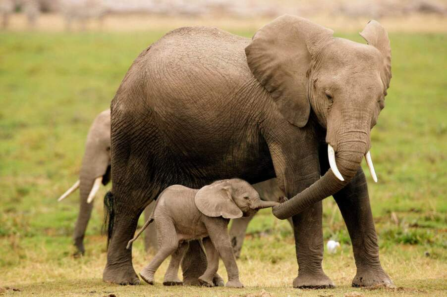 Maman éléphant et son éléphanteau sont connectés... par la trompe ! Trop mignon !