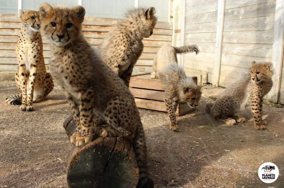 Et on vous remontre pour le plaisir les cinq petits guépards nés en 2016