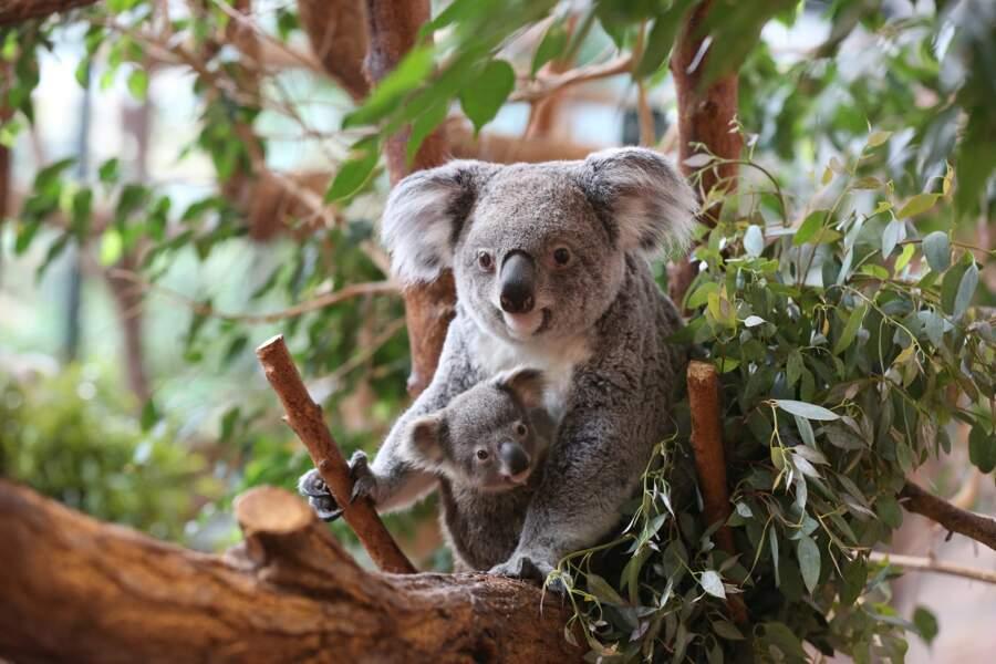 Si Tinaroo, bébé koala, est né en mai 2016, il n'est sorti de la poche de sa mère qu'en janvier 2017