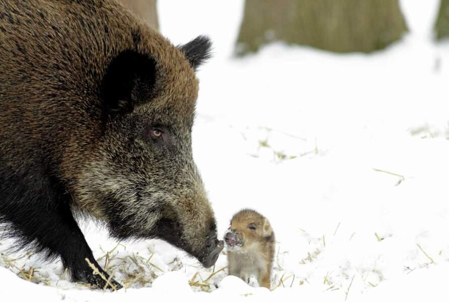 Ohhhh l'adorable marcassin et sa maman sanglier. Difficile de croire que ça va grossir comme ça !