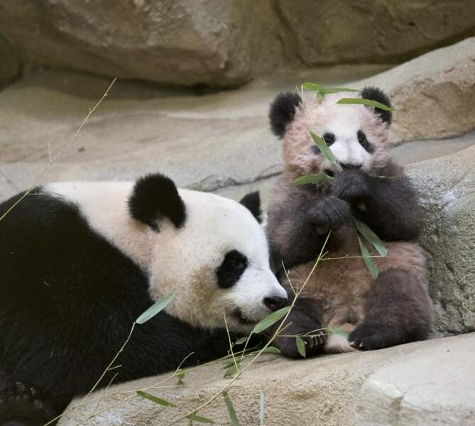 Yuan Meng, la petite boule de poils de 10kg est entré dans son enclos devant les yeux ébahis des visiteurs.