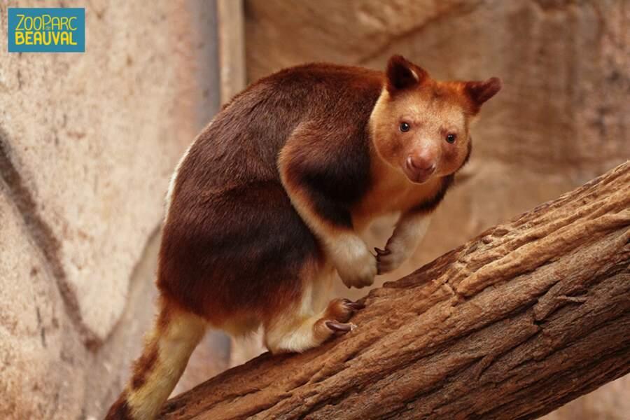 Ce dendrolague de Goodfellow est un kangourou qui vit dans les arbres, et qui est en danger d'extinction. (Beauval)
