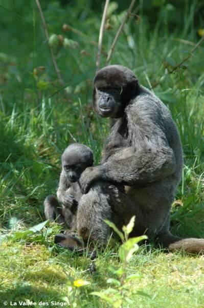 Son bébé est le plus doux, et c'est pour ça qu'on l'appelle le singe laineux ! (La vallée des singes)