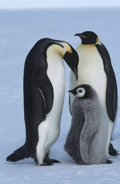 Sur la banquise, bébé pingouin reste près de ses parents ! Il ne faudrait pas glisser...