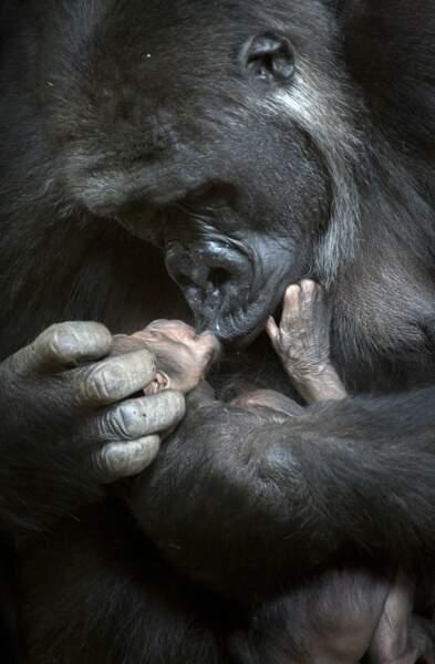 On termine par ce tendre câlin entre gorilles