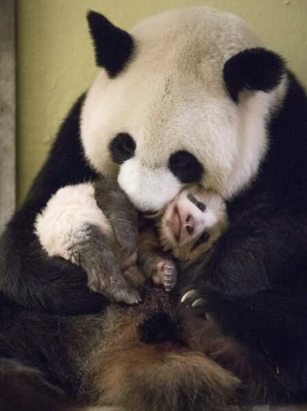 Le bébé le plus attendu de 2017, c'est lui : Yuan Meng, né au zoo de Beauval en août dernier