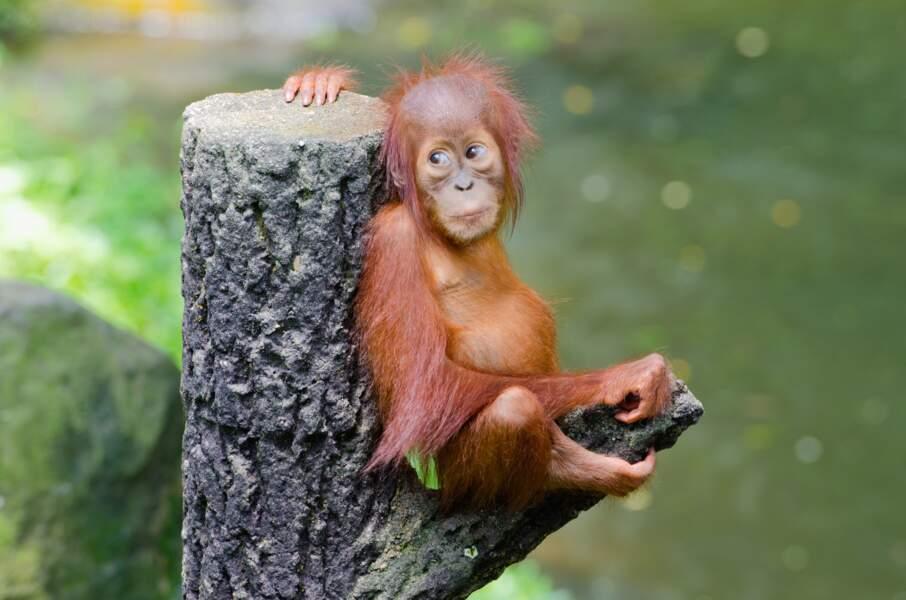 Quel âge peut bien avoir cet orang-outan ? Une poignée de mois. En tous cas, il est super mignon.