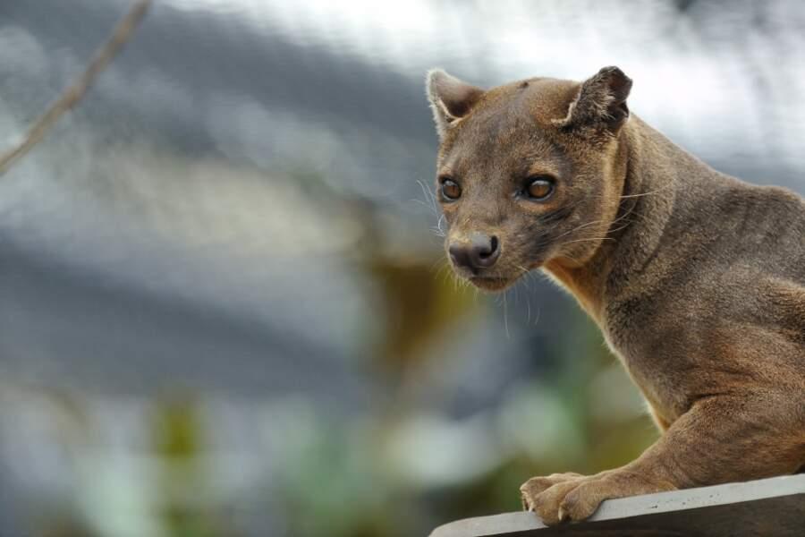 Et ça c'est quoi ? C'est un fossa ! Peu connu, ce grand prédateur vit exclusivement à Madagascar (zoo de Vincennes)