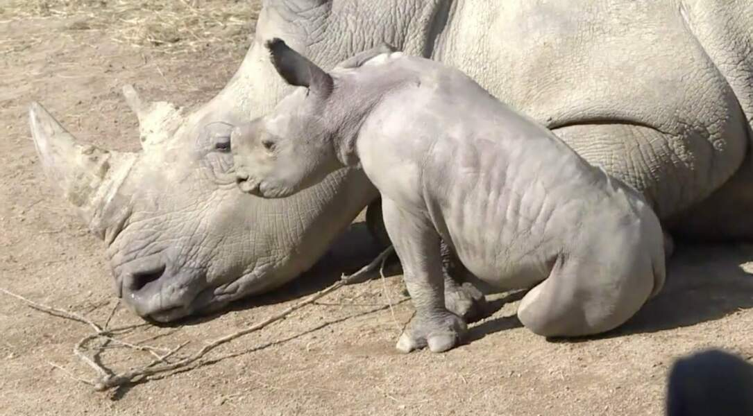 Et un rhinocéros blanc